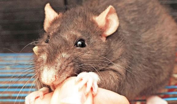 bitten by a rat