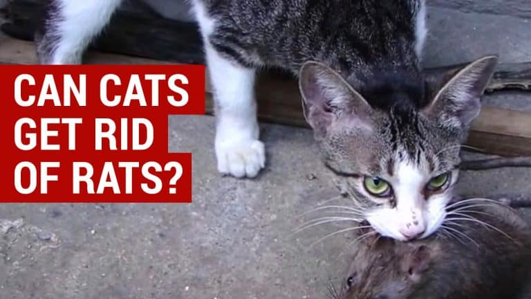 using a cat to get rid of rat infestations
