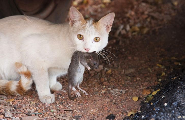 cat eating rat