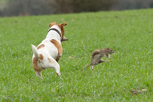 get a dog or cat to catch rats for your own pest control