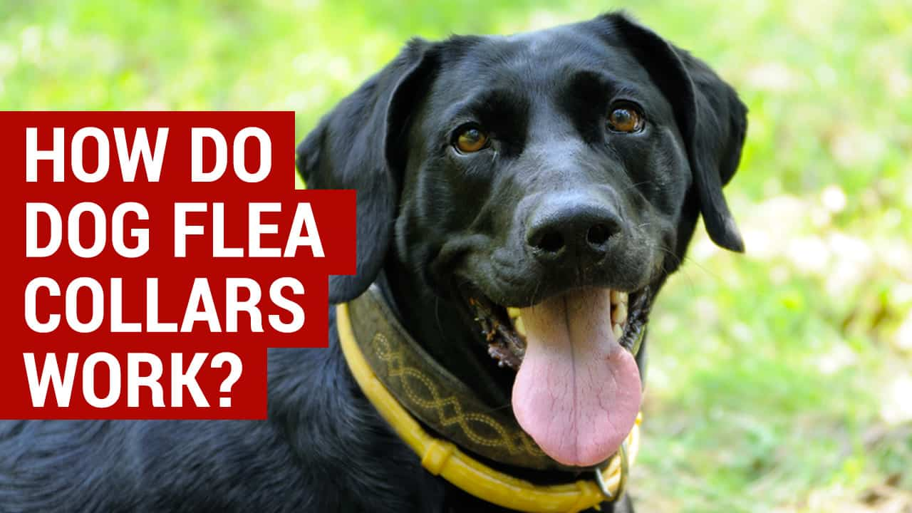 How Do Dog Flea Collars Work Your Questions Answered