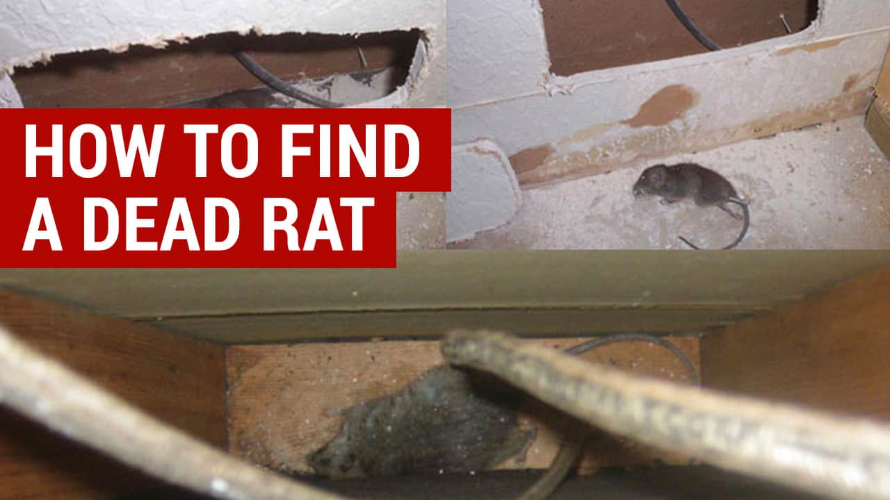 how to find a dead rat in the wall