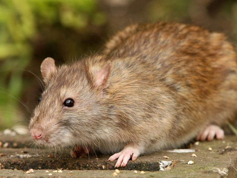 How to stop rats and mice coming in to your house