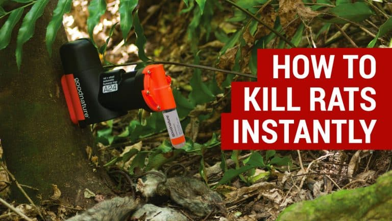 Learn How To Get Rid Of Rats Effective Pest Control For