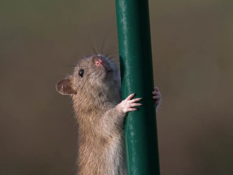 how to stop rats on your bird feeder
