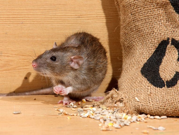 keep bird seed away from rats in glass or metal containers