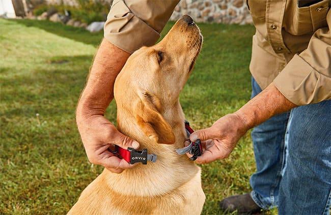 putting on a dog flea collar