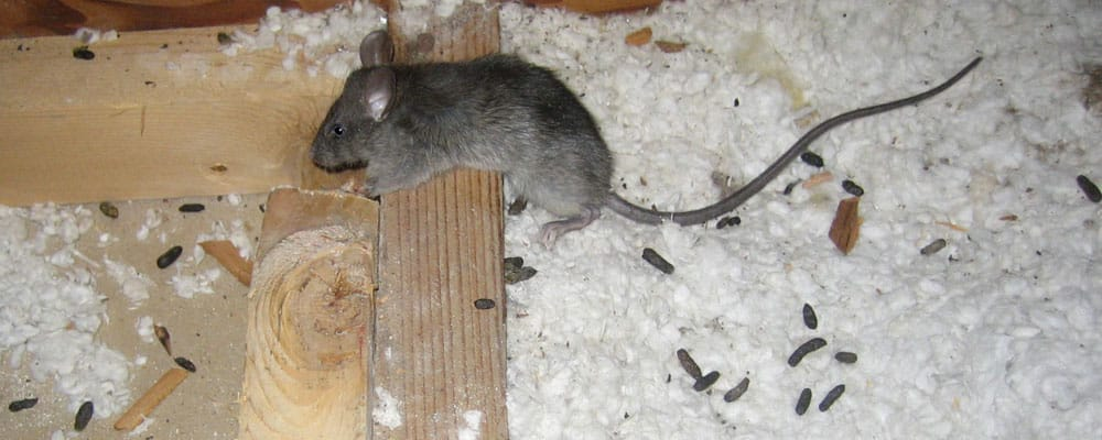 rat droppings from infestation