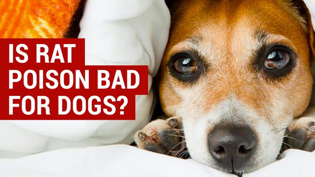 is rat poison bad for dogs
