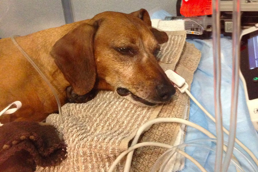 Poorly dog being treated for rat poison