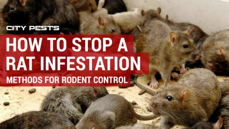 how to stop a rat infestation