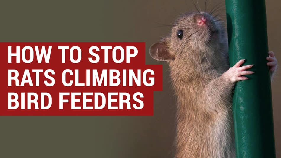 how to stop rats climbing bird feeders