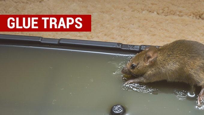 the best glue rat traps