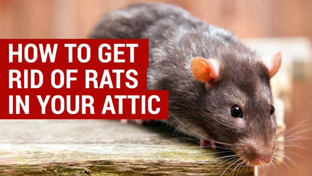 Learn How To Get Rid Of Rats In The Attic For Good Loft