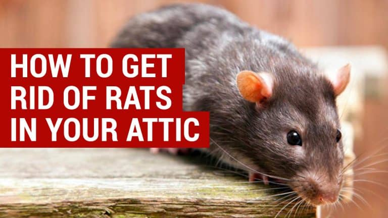 how to get rid of rats in your attic