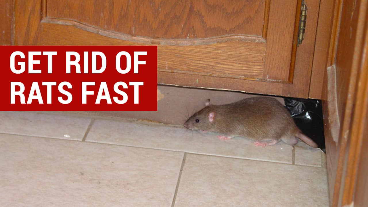 how to get rid of rats in your house fast