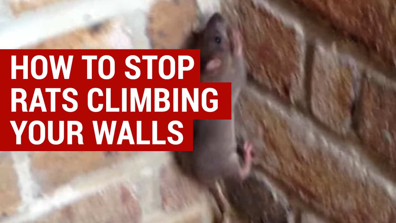 how to stop rats climbing your walls