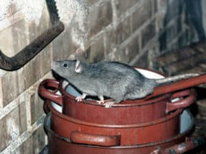 rat about to climb wall