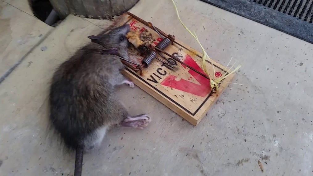 rat caught in victor snap trap