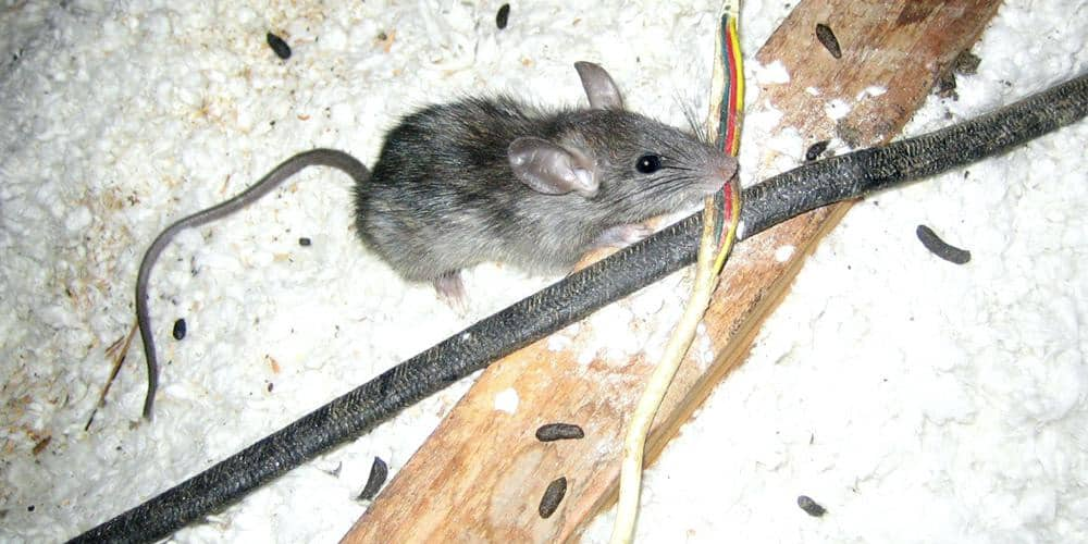 rat gnawing electric wire in attic