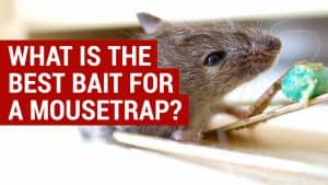 best bait for a mouse trap
