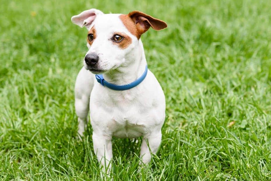 best dog flea collars to buy