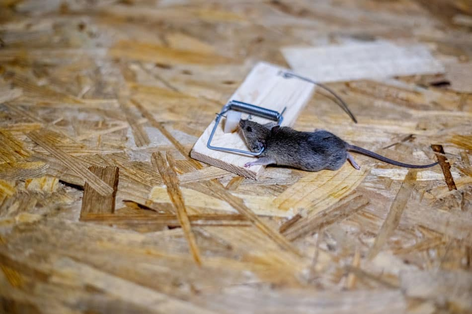 best bait for mouse trap includes peanut butter, chocolate and smell cheese