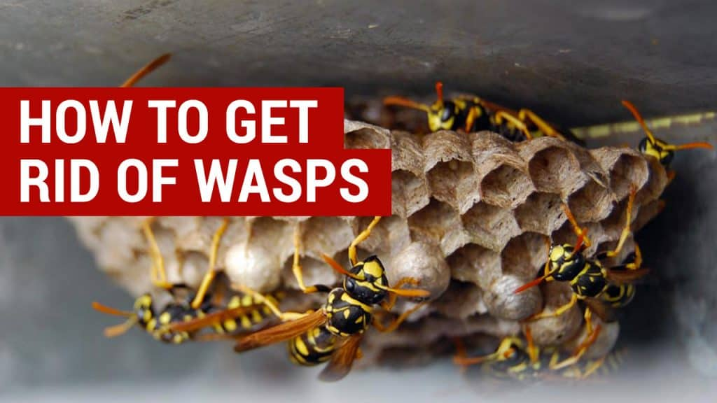 how to get rid of wasps this summer