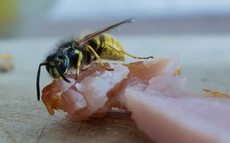 wasps on meat at a bbq