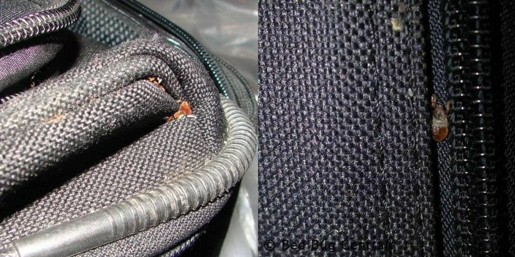 photos of bed bugs on suitcase when travelling