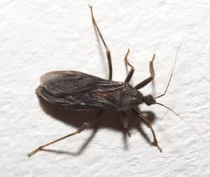 Reduvius personatus bed bug predator