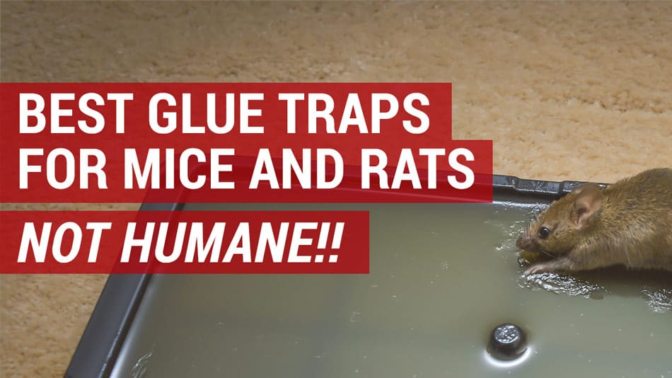 Best Glue Traps For Mice And Rats Mouse Glue Traps