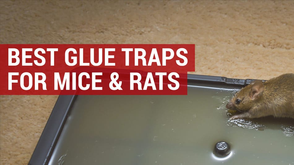 19de6f35fca Best Glue Traps for Mice and Rats | Mouse Glue Traps | Reviews & Guide