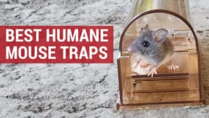 best humane mouse trap reviews and where to buy