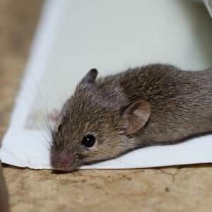 mouse stuck in glue trap