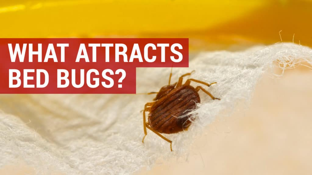 what attracts bed bugs
