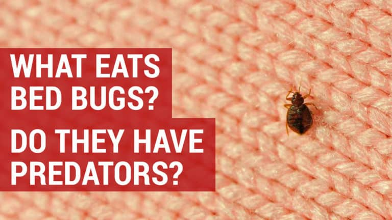 what eats bed bugs and do they have predators
