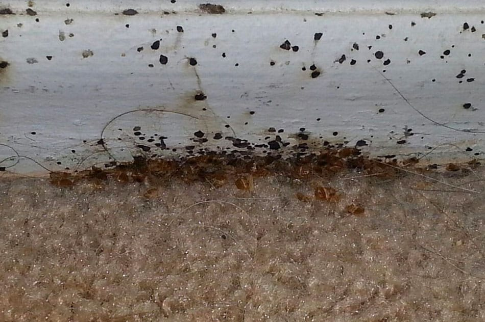 bed bugs in carpet picture