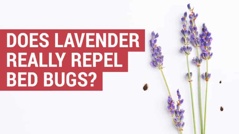 Does lavender really repel bed bugs