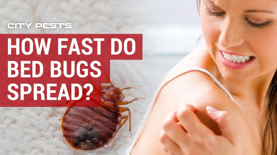 how fast do bed bugs spread