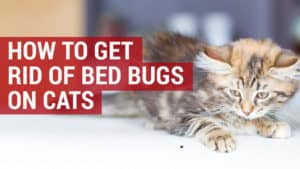 how to get rid of bed bugs on cats