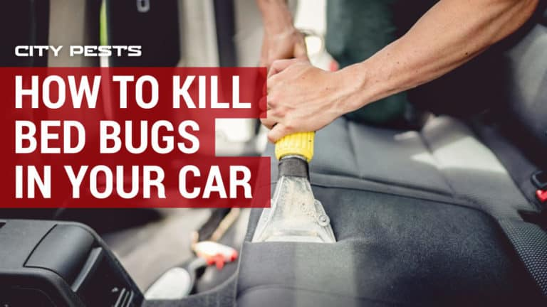 how to kill bed bugs in a car