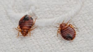 lysol spray for killing-bed bugs