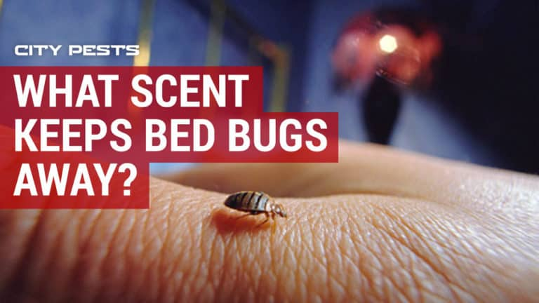 what scent keeps bed bugs away
