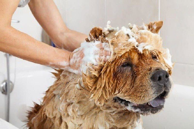 bed bug dog shampoo