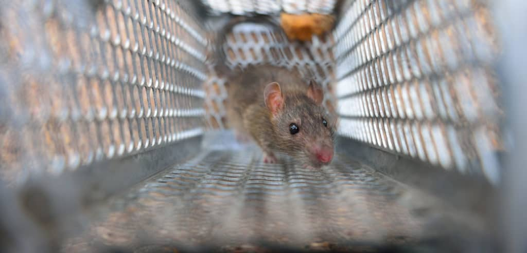 use humane live traps to get rid of rats