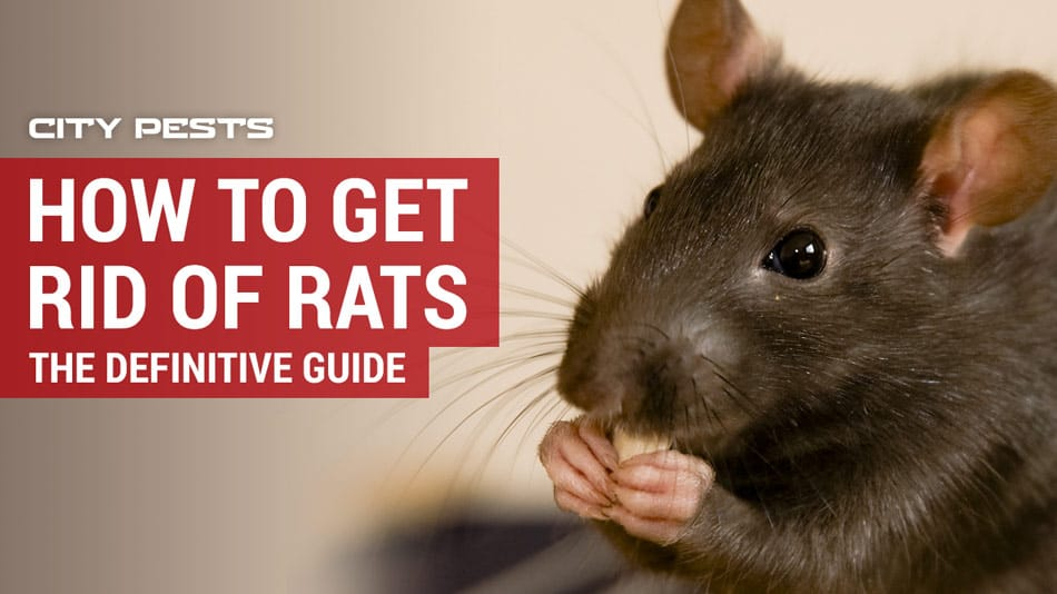 How To Get Rid Of Rats 2019 Traps Poison Humane Methods