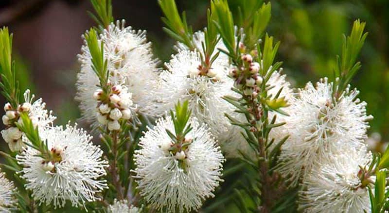 melaleuca alternifolia tea tree