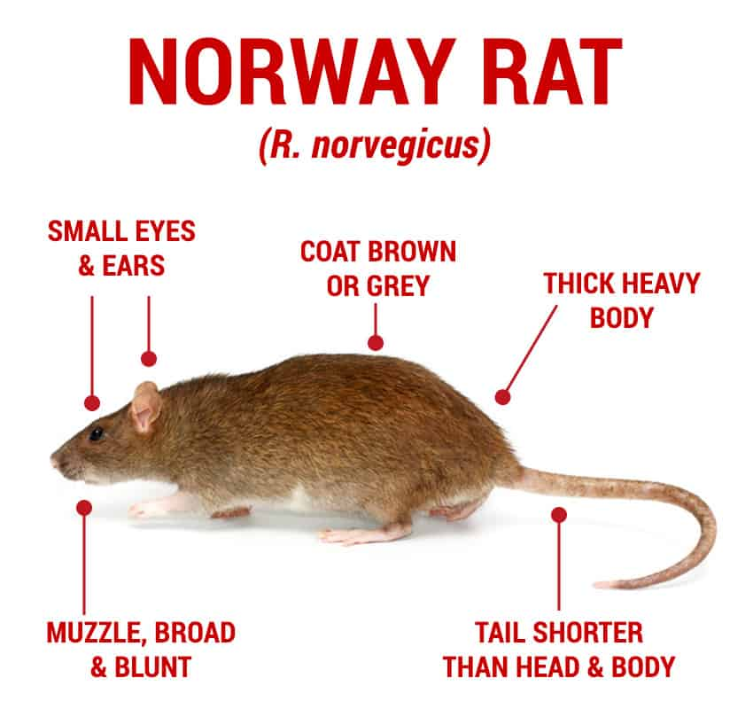 Norwat Rat