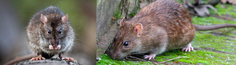How to catch a smart rat | Catch clever rats with our tips and guides